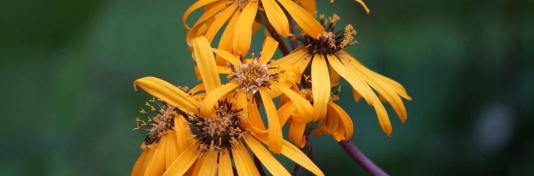 Ligularia dentata, Ligularia clivorum – języczka pomarańczowa