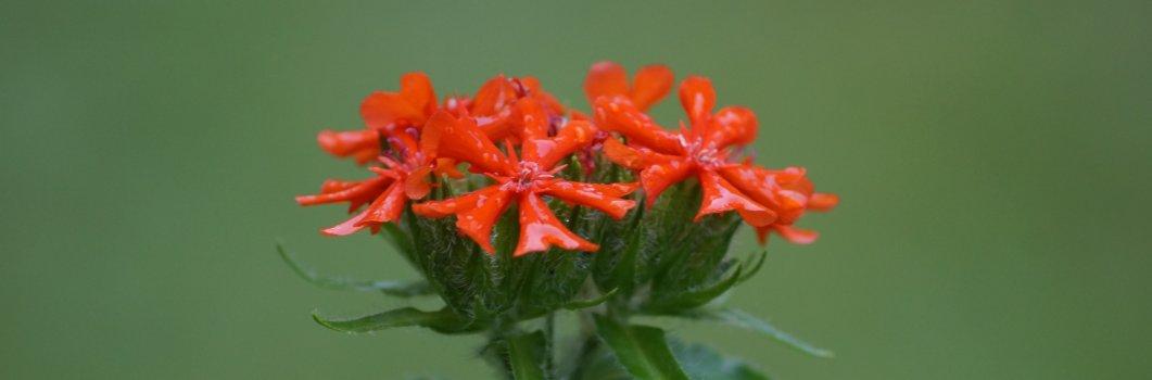 Lychnis chalcedonica – firletka chalcedońska, kogutek