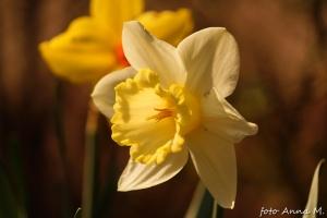 Ogród ozdobny w kwietniu - kwitną rośliny cebulowe