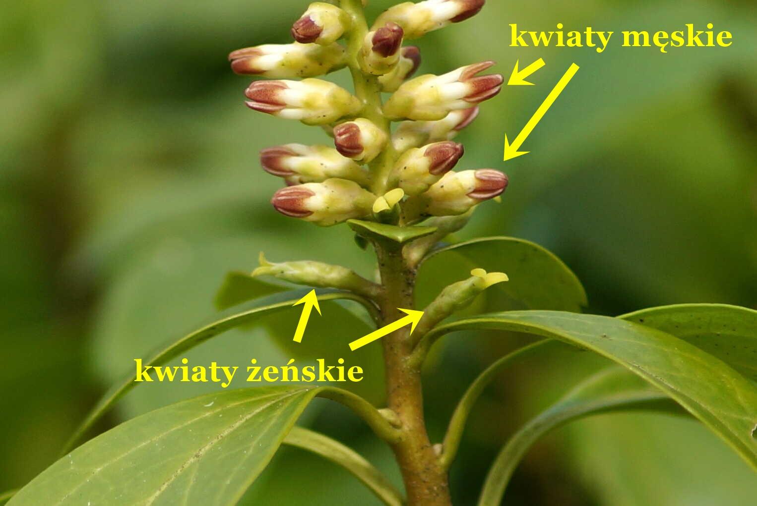 Pachysandra terminalis_kwiaty
