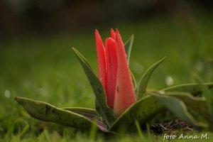 Pinocchio - miniaturowy tulipan Greiga