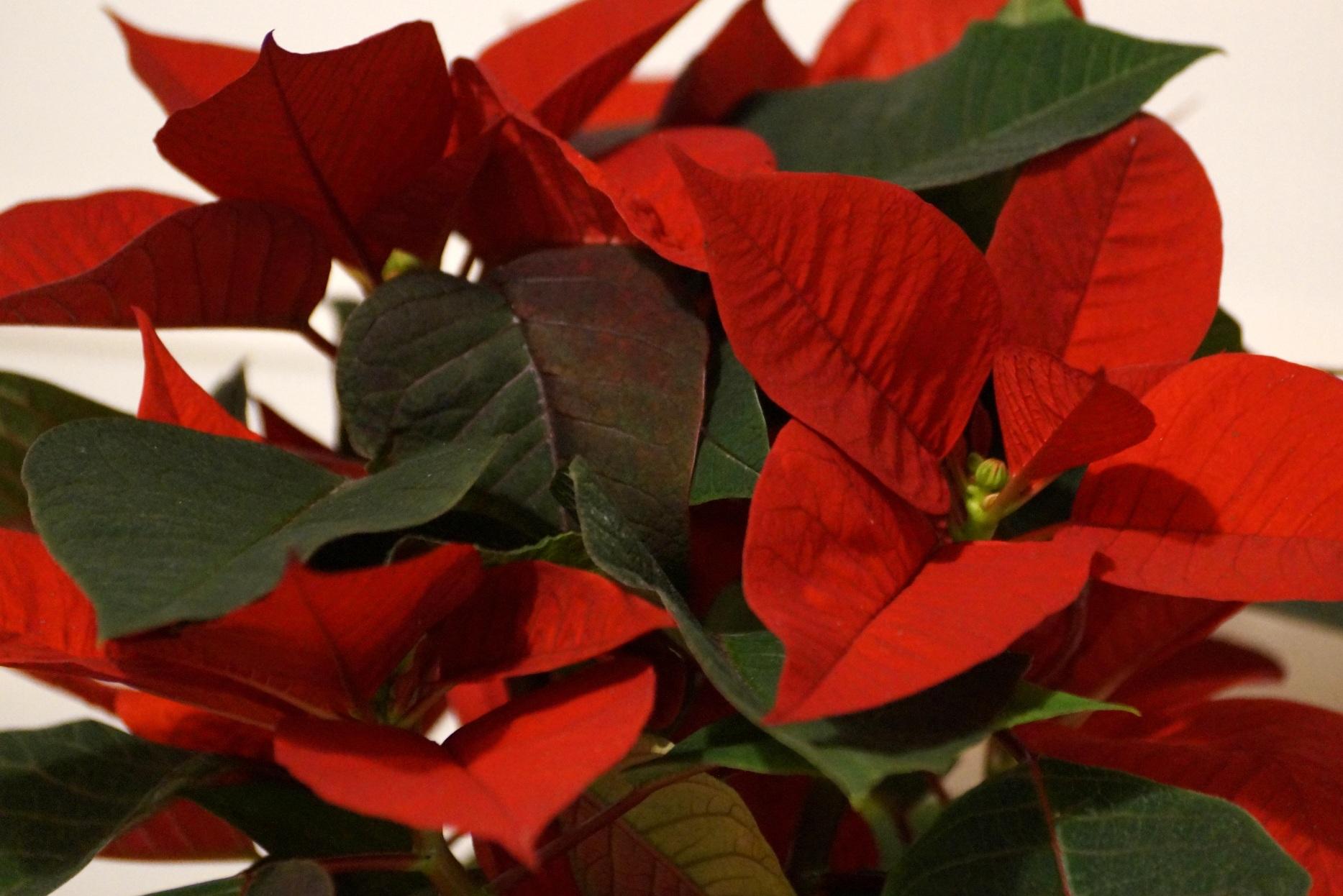 Rośliny dnia krótkiego czyli … poznaj tajemnicę roślin kwitnących w grudniu.
