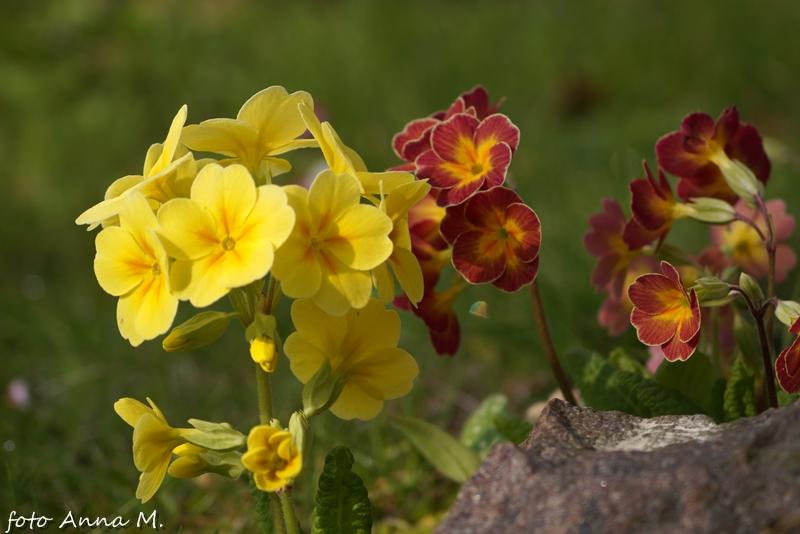 Primula elatior - pierwiosnek wyniosły