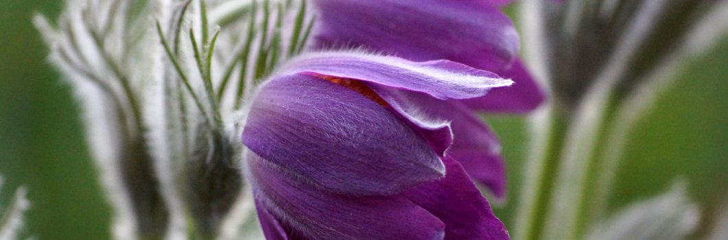 Pulsatilla vulgaris – sasanka zwyczajna