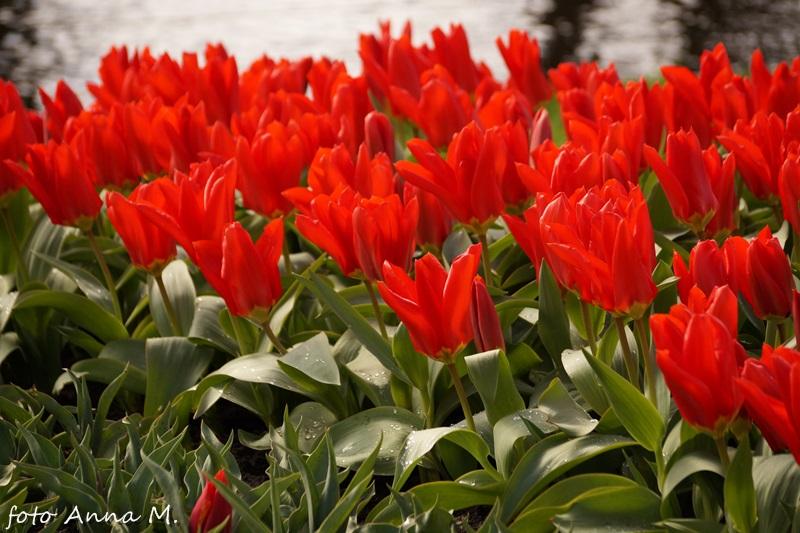 Tulipany Fostera - Red Emperor
