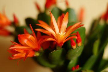Rhipsalidopsis – ripsalidopsis, kaktus wielkanocny