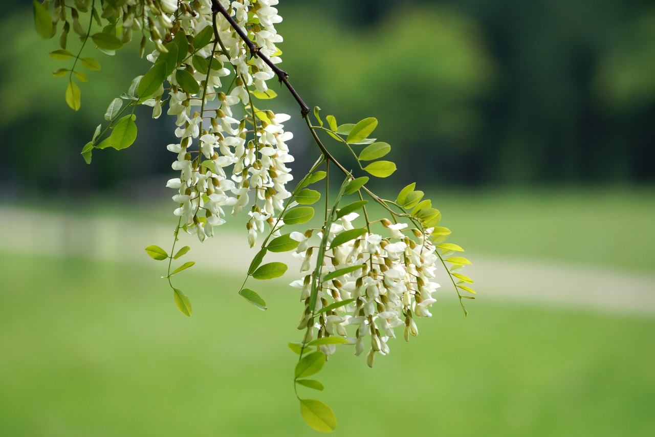 Robinia pseudoacacia – robinia akacjowa, robinia biała, grochodrzew