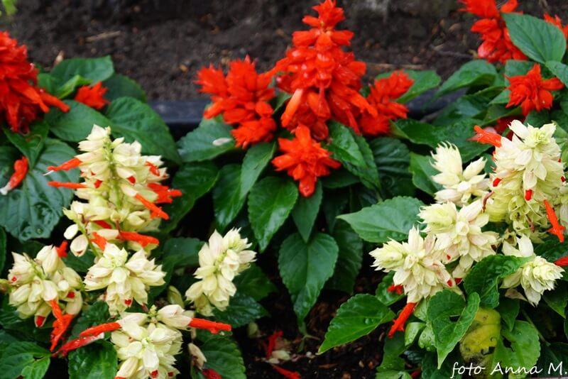 Salvia splendens – szałwia błyszcząca