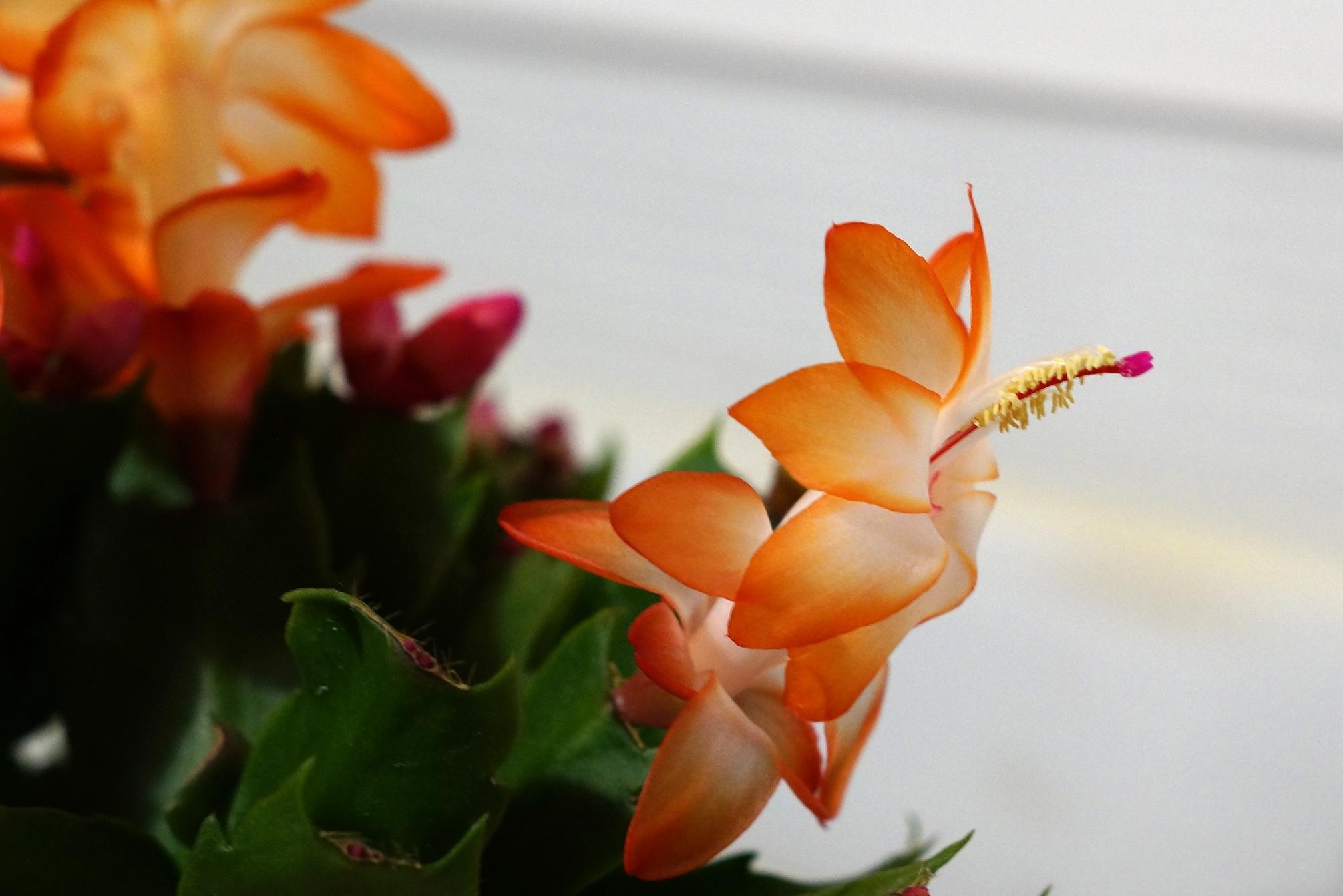 Schlumbergera, Zygocactus, Epiphyllum – szlumbergera, kaktus bożonarodzeniowy, grudnik