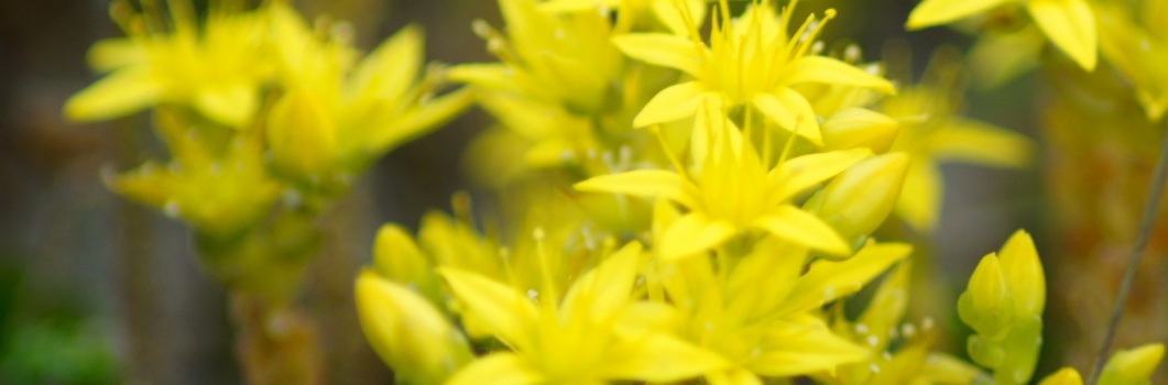 Sedum acre – rozchodnik ostry