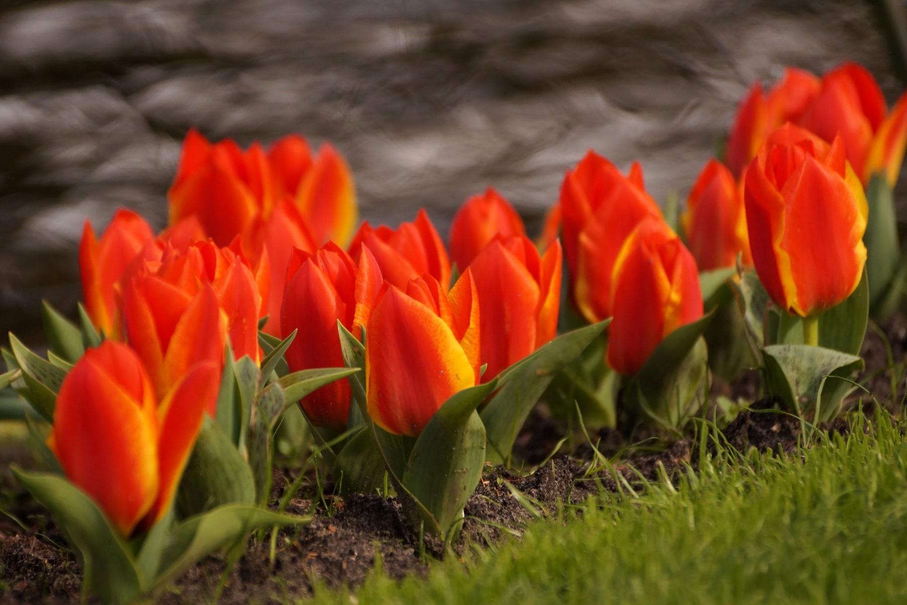 Tulipa greigii – tulipan Greiga