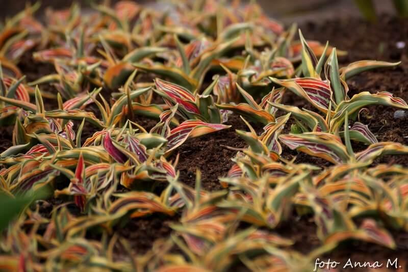 Tulipany Greiga najczęściej mają barwne paski na liściach
