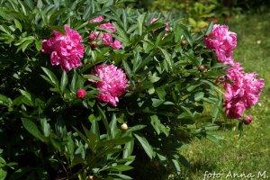 Paeonia lactiflora, Paeonia chinensis - piwonia chińska