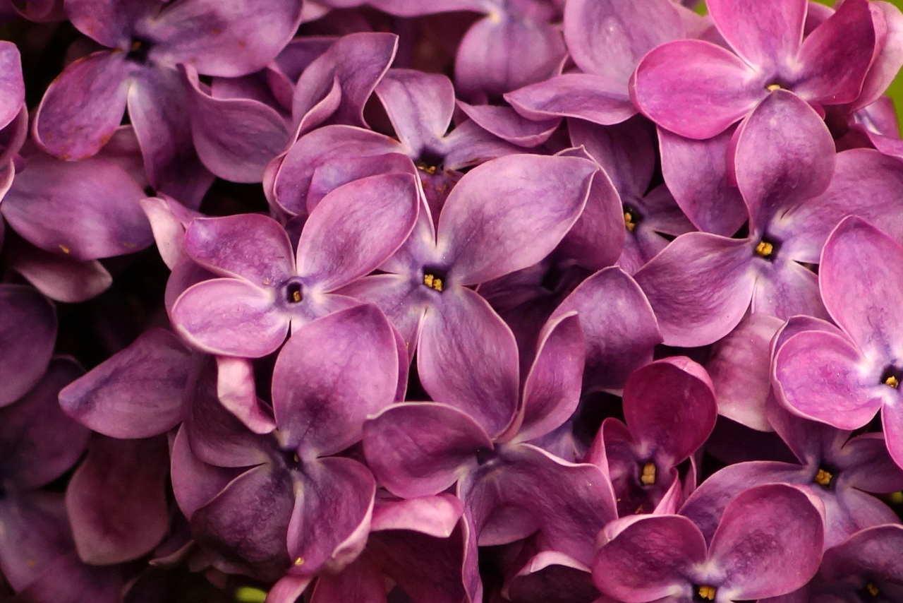 Syringa vulgaris – lilak pospolity, bez lilak