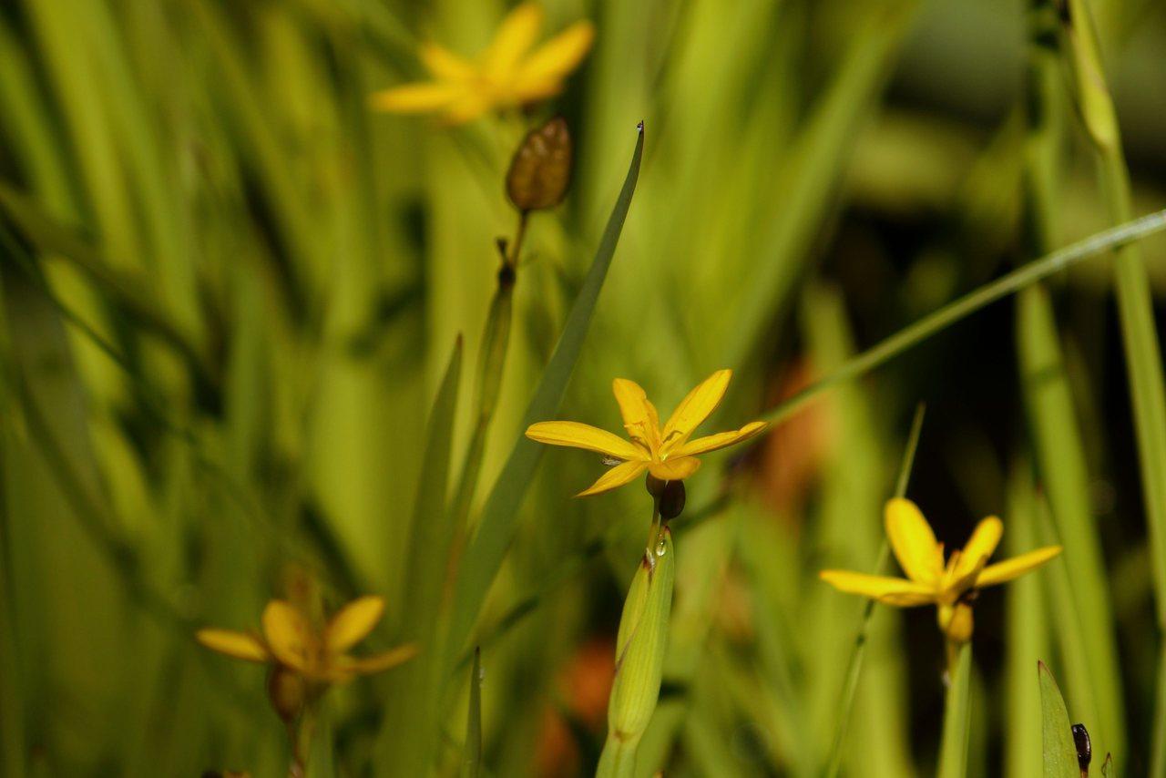 Sisyrinchium californicum – miecznica kalifornijska, żółtooka trawa