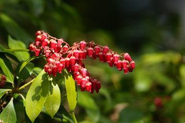 Pieris japonica – pieris japoński