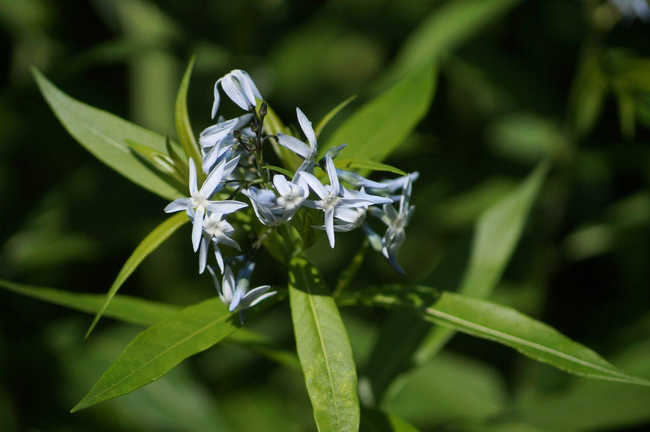 Amsonia tabernaemontana, Amsonia salicifolia – amsonia nadreńska, amsonia wierzbolistna