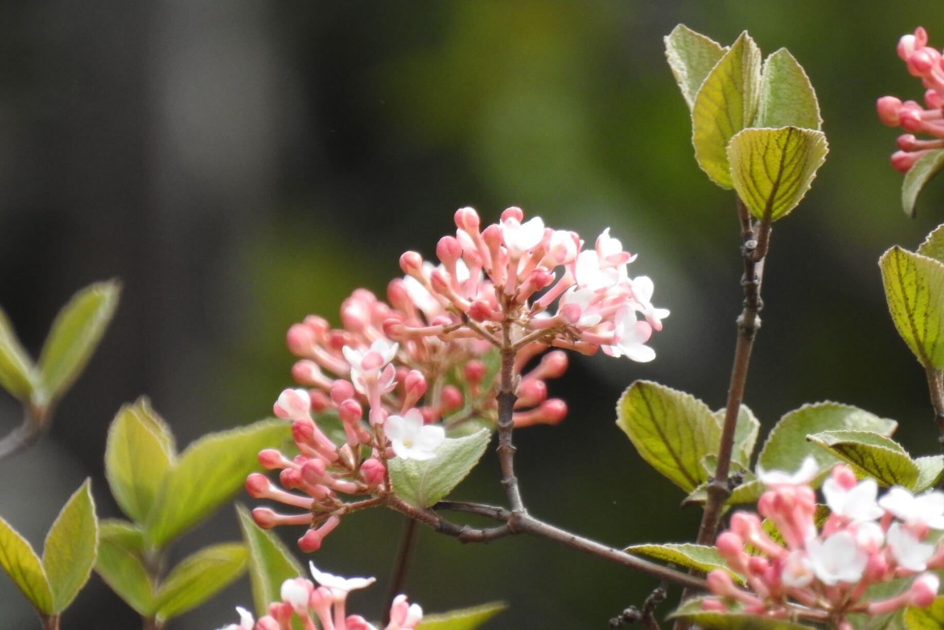 Viburnum carlesii – kalina koreańska