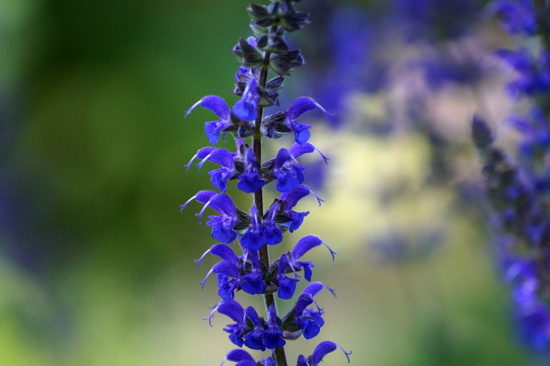 Salvia nemorosa – szałwia omszona
