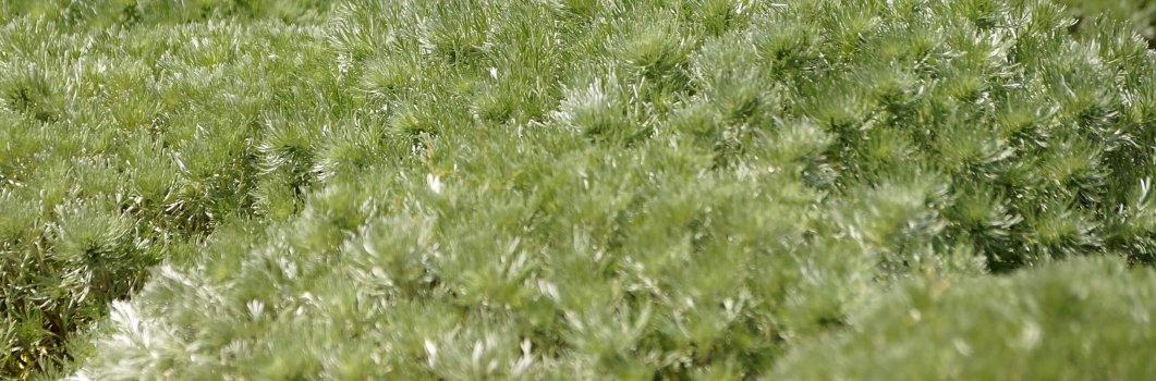 Artemisia schmidtiana – bylica Schmidta