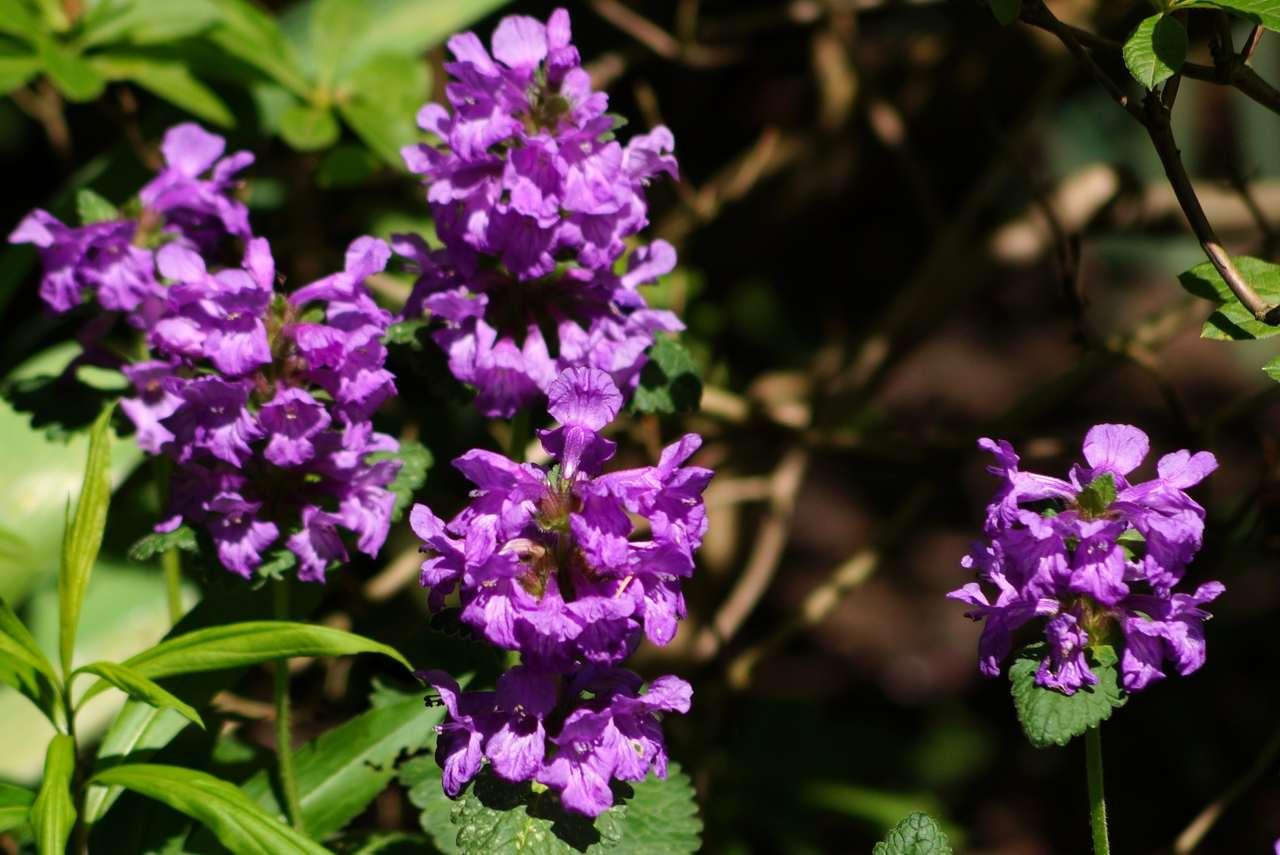 Stachys grandiflora (Stachys macrantha, Betonica grandiflora) – czyściec wielkokwiatowy