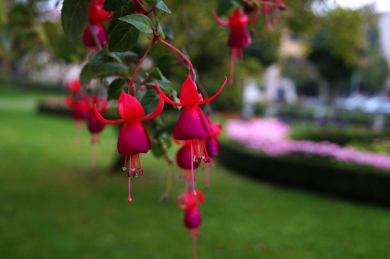 Fuchsia x hybrida – fuksja ogrodowa, ułanka