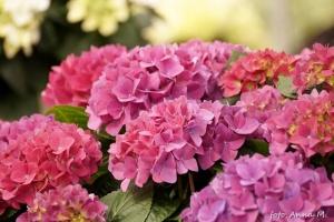 Piękne kwitnienie hortensji ogrodowej to przede wszystkim efekt dobrego zabezpieczenia na zimę.