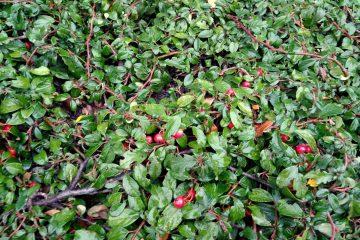 Cotoneaster dammeri – irga Dammera
