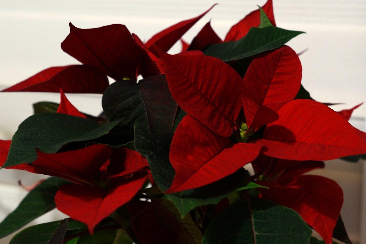 Rośliny Bożego Narodzenia