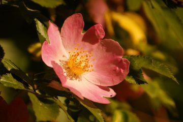 Rosa canina – róża dzika, róża psia, szypszyna