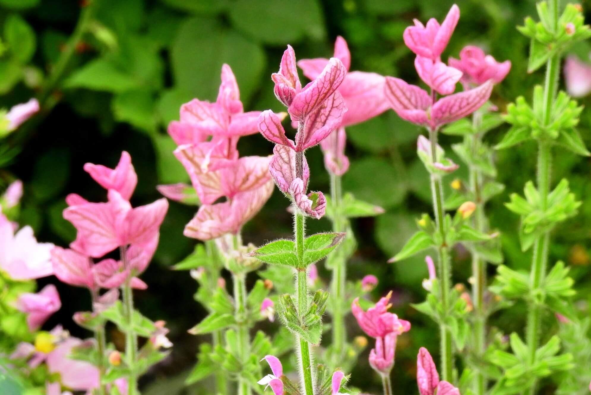 Salvia viridis, S. horminum – szałwia powabna