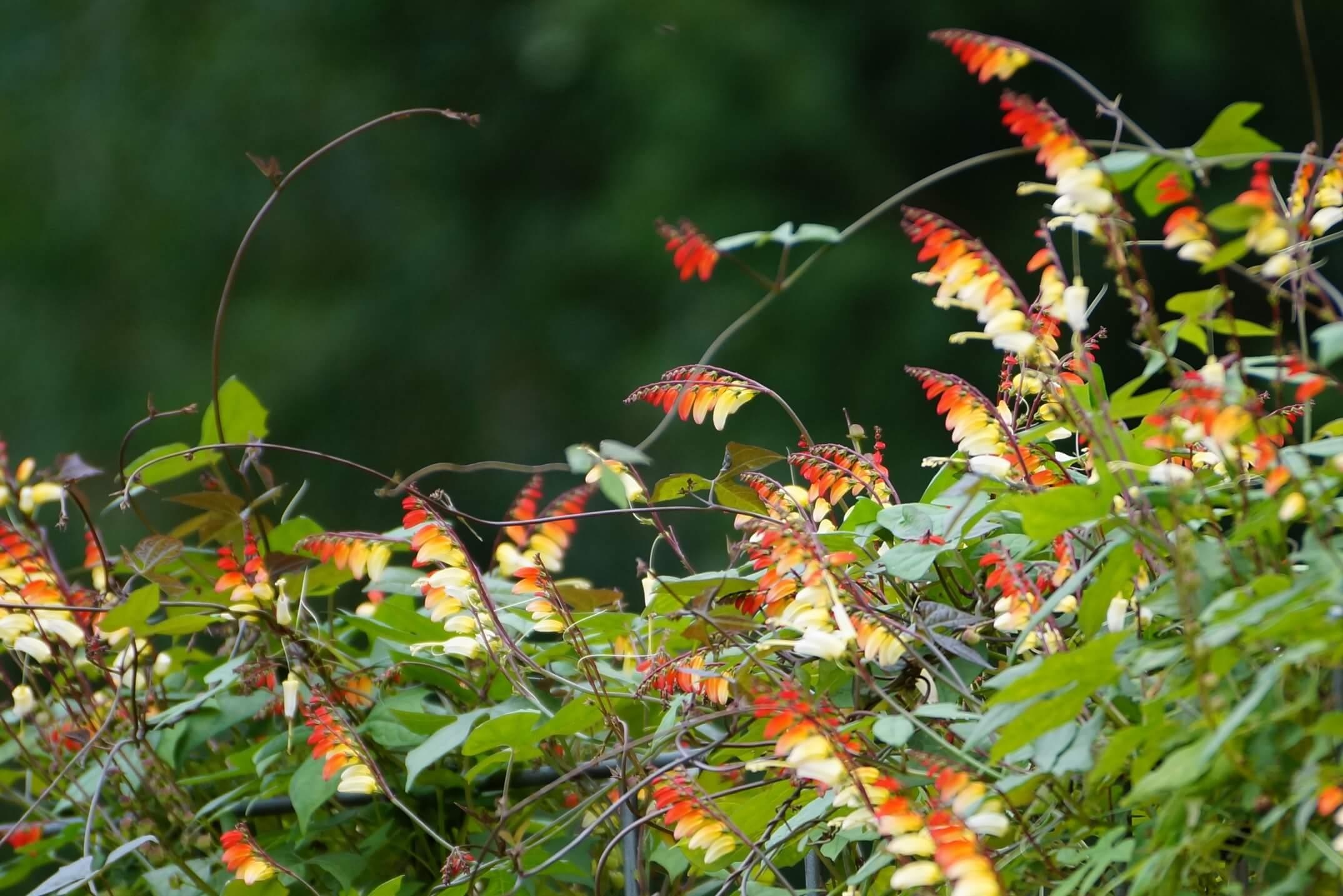 Ipomoea lobata (Ipomoea versicolor, Mina lobata) – wilec klapowany