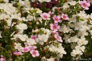 """Sutera grandiflora – sutera wielkokwiatowa, """"bakopa"""""""
