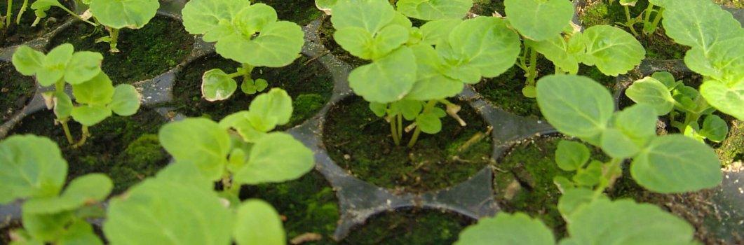 Jak wyprodukować rozsadę roślin jednorocznych