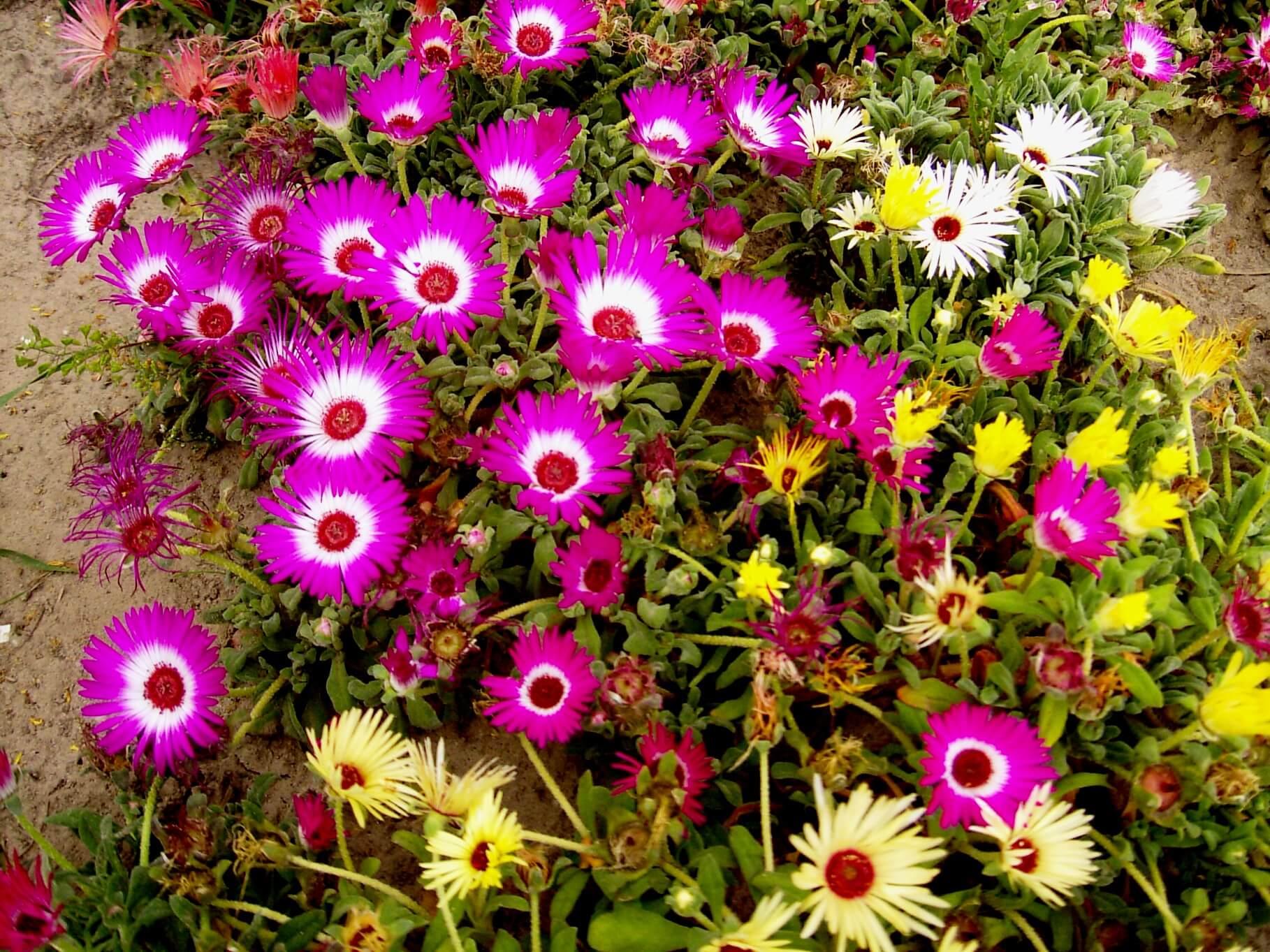 Mesembryanthemum criniflorum – przypołudnik stokrotkowy