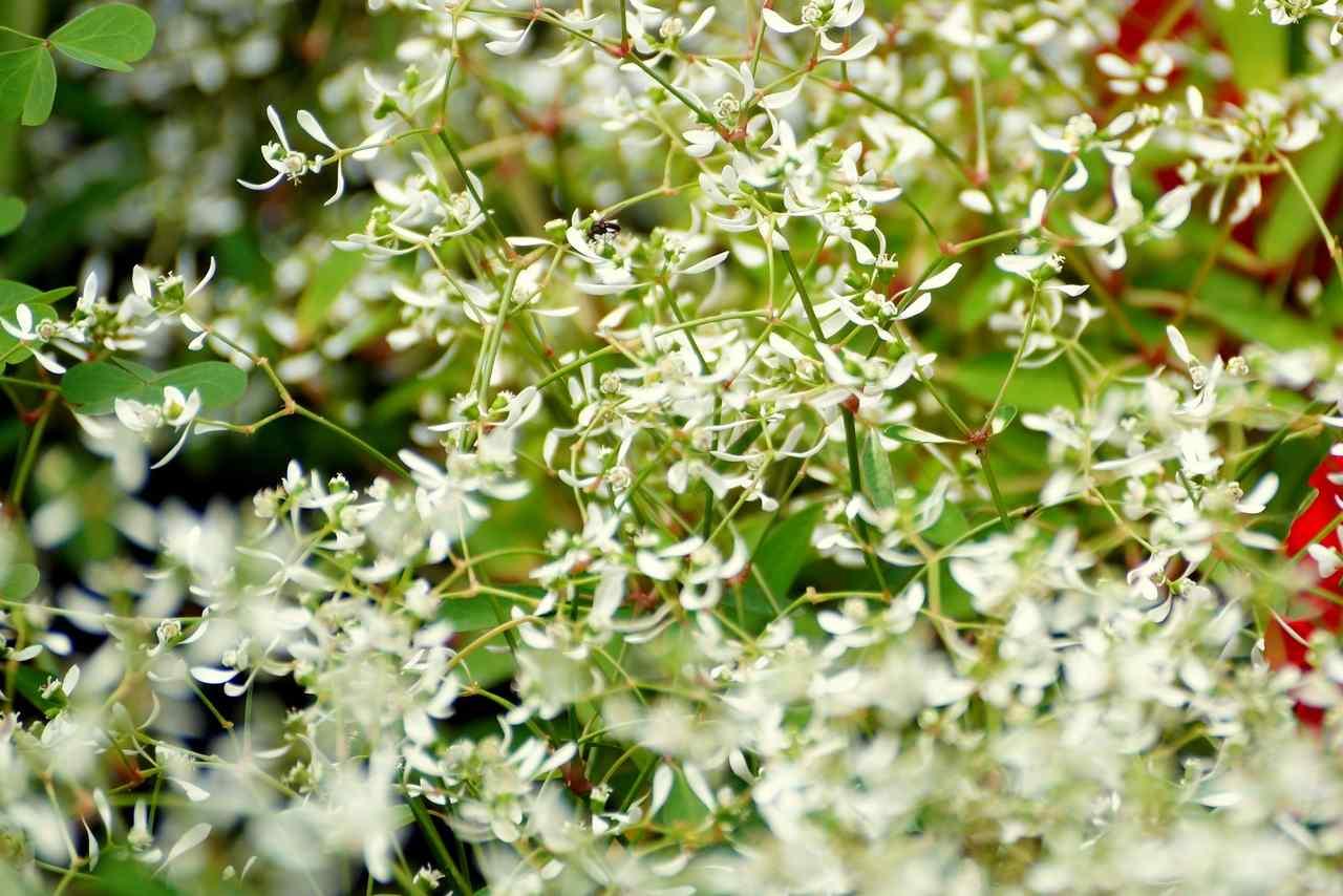 Euphorbia hypericifolia (Chamaesyce hypericifolia) – wilczomlecz dziurawcolistny