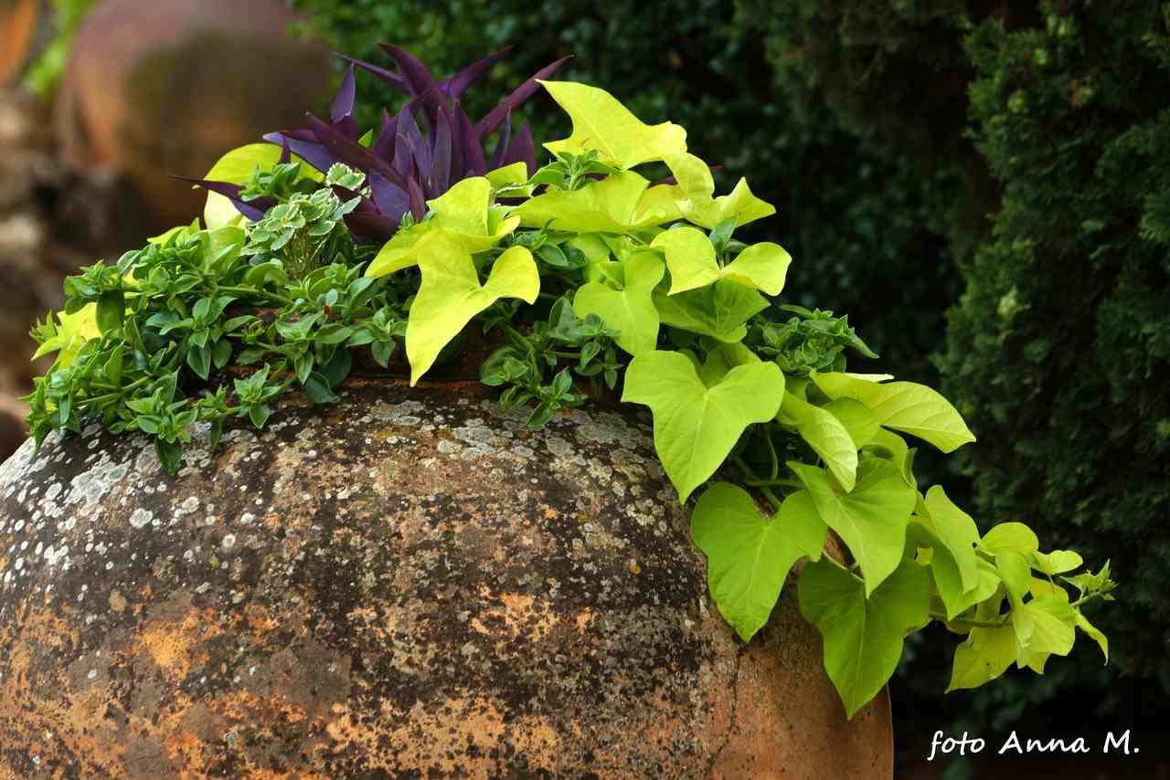 Ipomoea batatas - wilec ziemniaczany