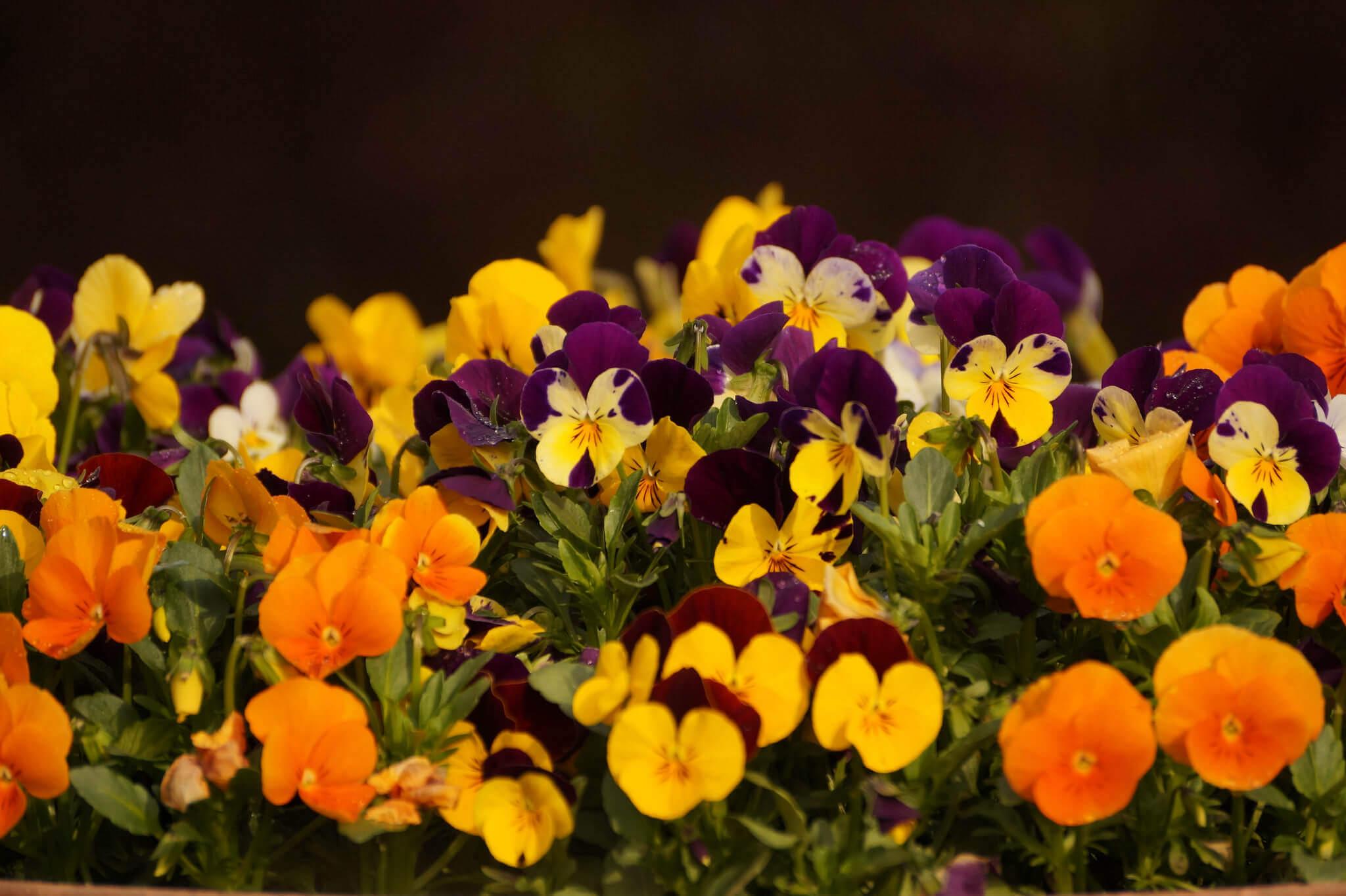 Viola x wittrockiana – fiołek ogrodowy, bratek