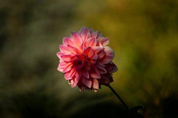 Dahlia x cultorum – dalia ogrodowa, georginia