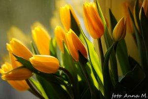 Rośliny cebulowe kwitną przede wszystkim wiosną