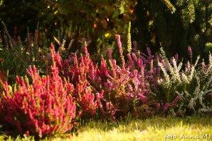 Wrzosy to typowe rośliny na wrzosowiska