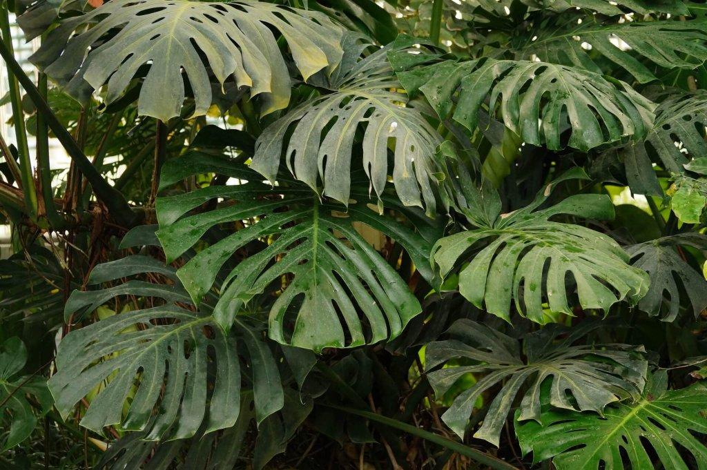 Monstera - jedna z najokazalszych roślin domowych