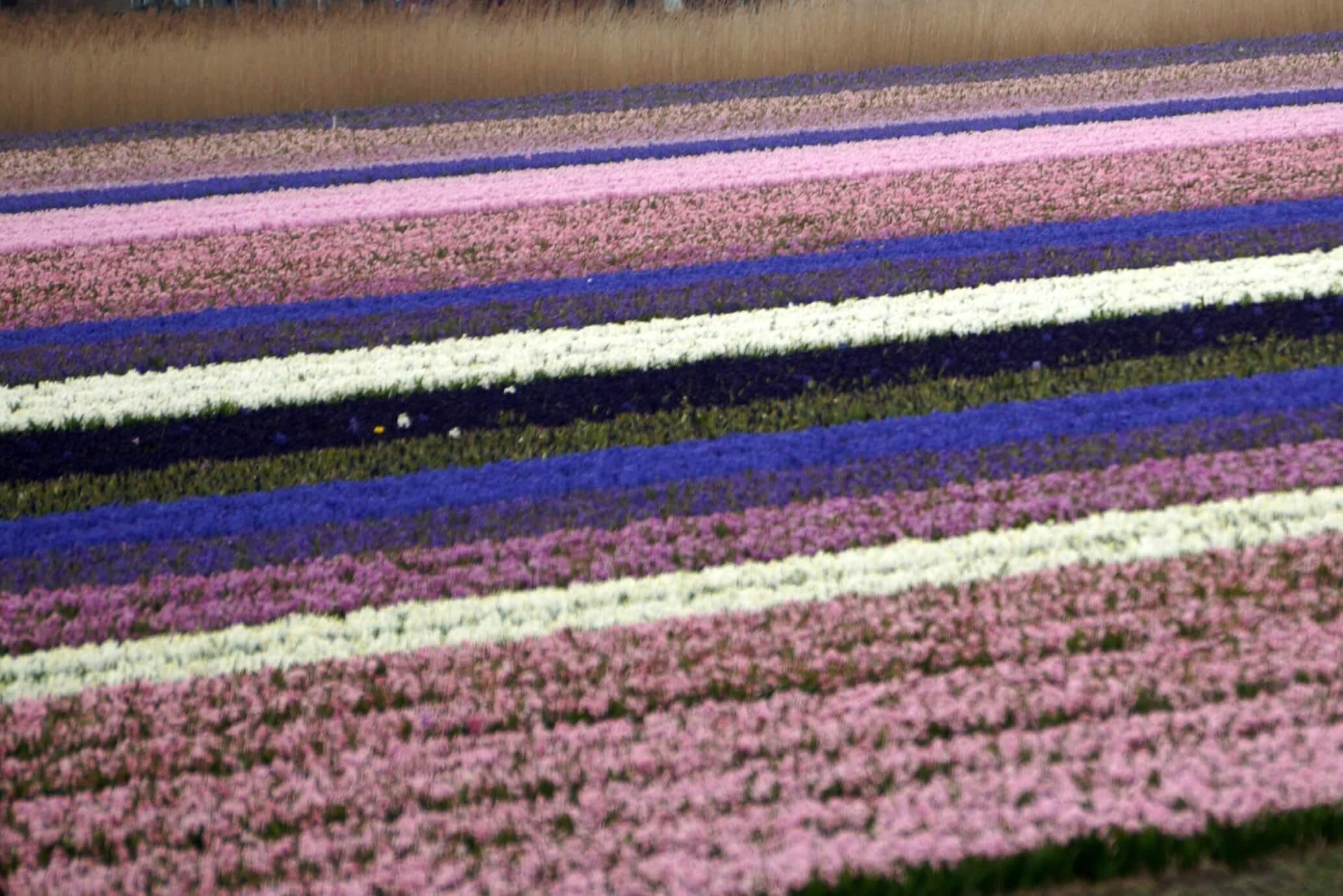 Sadzimy cebulowe – przygotowanie miejsca i gleby