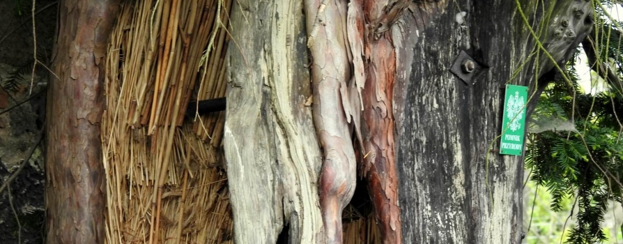 Najstarsze drzewo w Polsce – cis z Henrykowa Lubańskiego