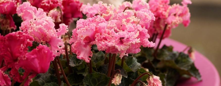 Cyclamen persicum – cyklamen perski, fiołek alpejski
