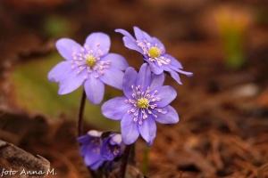 Przylaszczka - jedna z najwcześniejszych bylin ogrodowych