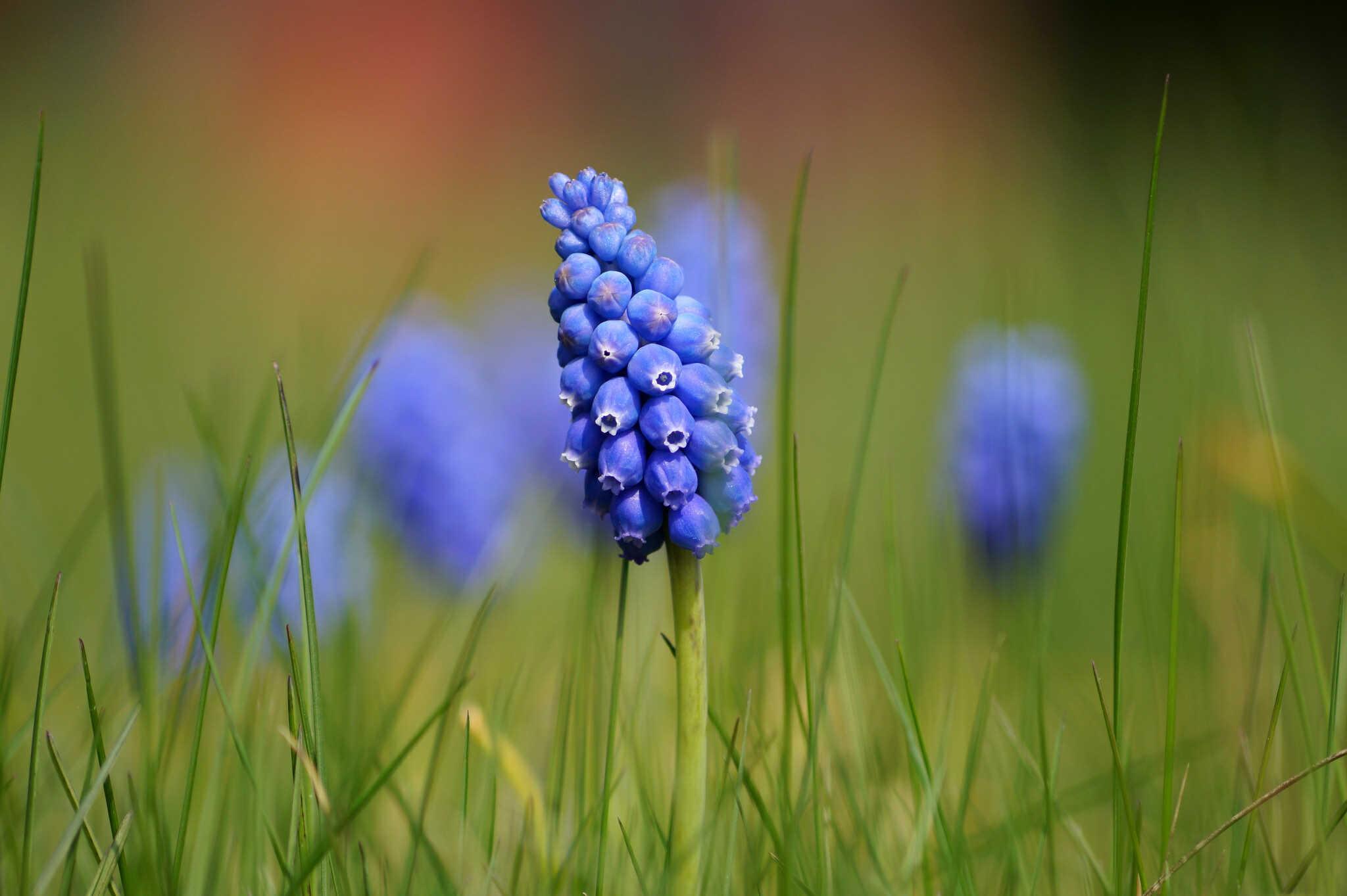 Muscari botryoides - szafirek drobnokwiatowy