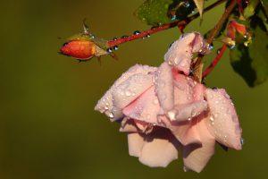 Czerwiec to czas początku kwitnienia róż